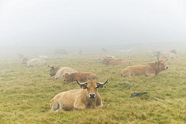 Aubrac cattle herd, Croix-Morand pass, Parc Naturel Regional des Volcans d'Auvergne, Regional Nature Park of the Volcanoes of Auvergne, Puy de Dome, Auvergne, France, Europe