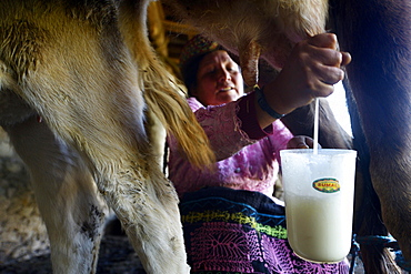 Farmer, 39 years, milking a cow, Union Potrero, Quispillaccta, Ayacucho, Peru, South America