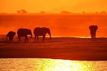 African Bush Elephants (Loxodonta africana) on the water edge at sunset, Chobe National Park, Kasane, North-West District, Botswana, Africa