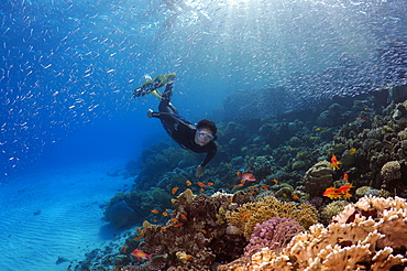 Freediver diving at the coral reef, Red Sea, Egypt, Africa