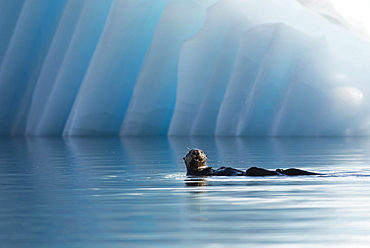 Sea Otter (Enhydra lutris) in front of an iceberg, College Fjord, Prince William Sound, Alaska
