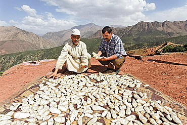 Mohammed El Malaoui checking the quality of the dried rhizomes of organically cultivated Irises (Iris germanica), which are stored on the roof of the mud house of Hassan Bouship, the chief of the village of Iwasoudane, for natural cosmetics in Europe, Ait Inzel Gebel Region, Atlas Mountains, Morocco, Africa
