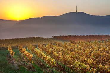 Autumnal vineyard in the Kaiserstuhl hills at sunrise with early morning fog, Mondhalde viewpoint, Oberrottweil, Vogtsburg im Kaiserstuhl, Baden-Wurttemberg, Germany, Europe
