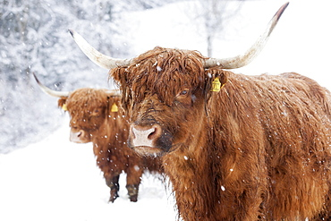Scottish Highland cattle in snow, Brandenberg, Tyrol, Austria, Europe