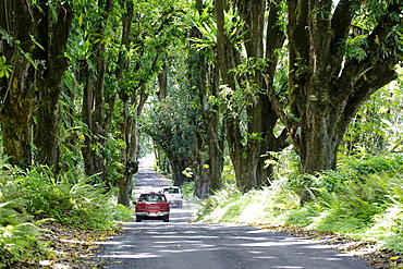 Pickups driving through a mango grove, Big Island, Hawaii, USA, North America