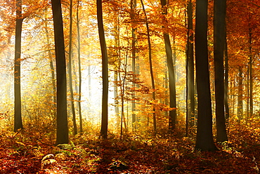 Beech (Fagus sp.) forest in autumn, sun rays shining through trees, Ziegelrodaer Forst, Saxony-Anhalt, Germany, Europe