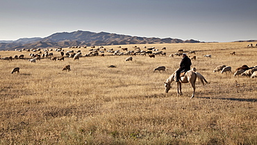 Kazakh man, shepherd on horseback, with his flock of sheep, hills and steppe landscape, near Almaty, Kazakhstan, Asia