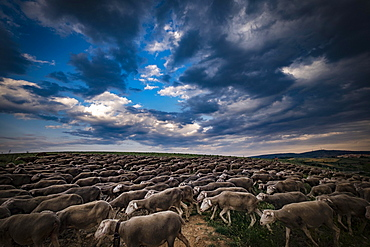 Large flock of sheep during the transhumance, region of Soria, Castilla y Leon, Spain, Europe