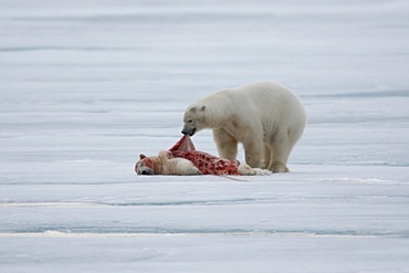 Polar bear (Ursus maritimus), skins and eats killed conspecific, pack ice at Kvitoya, Spitsbergen archipelago, Svalbard, Norway, Europe