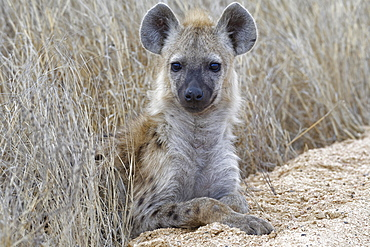 Spotted hyena (Crocuta crocuta), cub, lying on the edge of a dirt road, Kruger National Park, South Africa, Africa