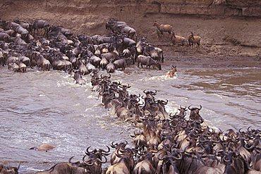 Wildebeest (Connochaetes), Masai Mara Wildlife Reservation, Kenya, Africa