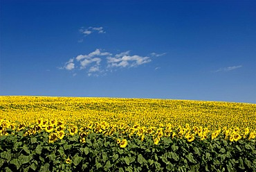A field of Sunflowers (Helianthus annuus), Limagne, Auvergne, France, Europe