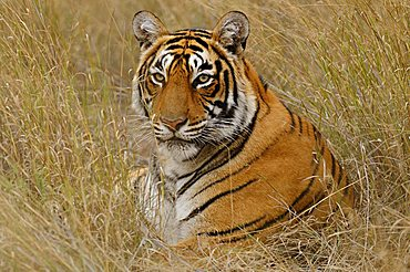 Tiger (Panthera tigris) in the dry grasses of the Ranthambore Tiger Reserve, Rajasthan, India, Asia