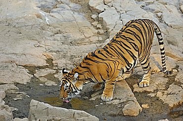 Tiger (Panthera tigris) at a rocky water hole in Ranthambore National Park, Rajasthan, India, Asia
