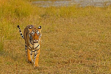 Tiger (Panthera tigris) in the dry grasses of Ranthambore tiger reserve, Rajasthan, India, Asia
