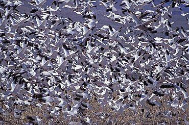 Flock of Snow Geese (Anser caerulescens)