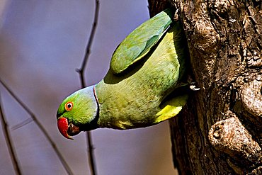 Rose-ringed parakeet (Psittacula krameri) coming out of a nest hole in Ranthambore National Park, Rajasthan, India, Asia