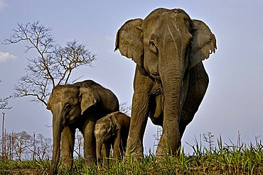 Female Asian elephant (Elephas maximus) with her calves in Kaziranga National Park, Assam, India, Asia