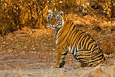 Tiger (Panthera tigris) sitting in the golden light at dusk on the forest tracks of Ranthambore Tiger Reserve, India