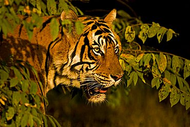 Head shot of a wild Tiger (Panthera tigris) in Ranthambore National Park, Rajasthan, India