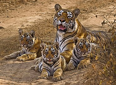Wild tigress (Panthera tigris) with three young cubs in Ranthambore National Park, Rajasthan, India