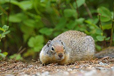 Columbian Ground Squirrel (Spermophilus columbianus) in Glacier National Park, Montana, USA
