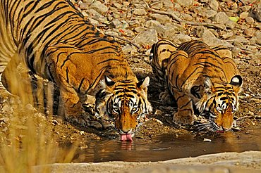 Two tigers at a water hole in Ranthambore, Rajasthan, India