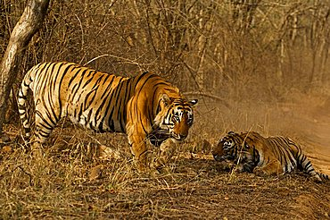 Two tigers (Panthera tigris), a male and a female, after a fight in Ranthambore National Park, Rajasthan, India