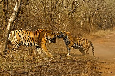 Two tigers (Panthera tigris), a male and a female, fighting in Ranthambore National Park, Rajasthan, India