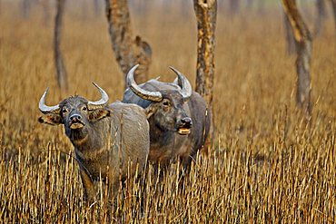 Wild Buffaloes (Bubalis bubalis arnee or Bubalis arnee) in burnt out grasslands in Kaziranga National Park in the north east Indian state of Assam, India