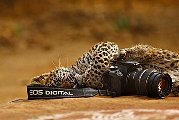 Wild Leopard (Panthera pardus) cub playing with a Canon camera in Ranthambore Tiger Reserve, India