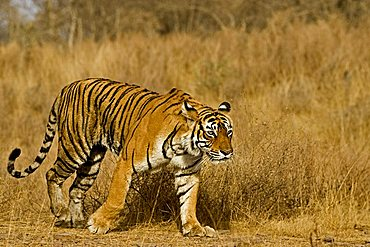 Tiger (Panthera tigris) moving in Ranthambore Tiger Reserve, India