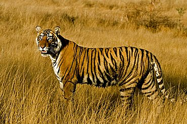 Tiger (Panthera tigris) moving on the dry grasses of the dry deciduous forest of Ranthambore Tiger Reserve at sunrise, India