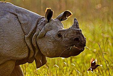 Asian One-horned rhino (Rhinoceros unicornis) in Kaziranga National Park in the north east Indian state of Assam, India