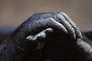 Chimpanzee hands (Pan troglodytes)