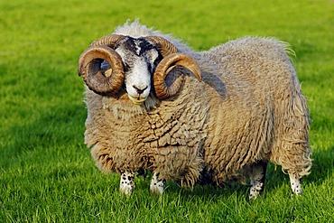 Scottish Blackface Sheep, male, domestic sheep