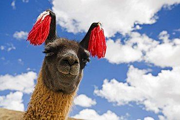 Portrait of a llama (Lama glama), Altiplano, Bolivia, South America