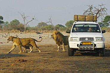 Lion family (Panthera leo) with a offroad car and tourists, Savuti, Chobe Nationalpark, Botswana, Africa