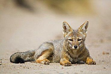 Grey Zorro (Pseudalopex griseus), peninsula Valdes, Patagonia, east coast, Atlantic Ozean, Argentina, South America