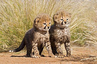 Cheetah cups (Acinonyx jubatus) in high grass Africa, Namibia