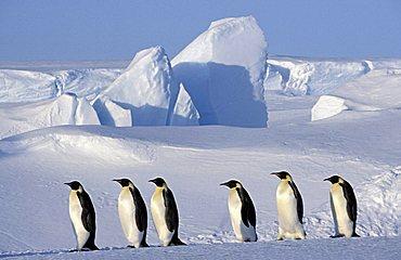 Emperor Penguin (Aptenodytes forsteri) colony, Dawson-Lambton Glacier, Antarctica