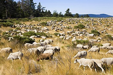 Herd of sheep in the Cevennes National Park, France, Europe