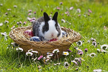 European rabbit (Oryctolagus cuniculus) sitting in an Easter basket on a flower meadow, Bavaria, Germany, Europe