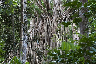 Strangler Fig Tree, Curtain Fig Tree (Ficus virens), rainforest, Curtain Fig Tree National Park, Atherton Tablelands, Queensland, Australia