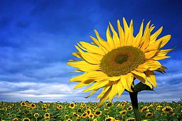Sunflowers (Helianthus annuus), Erfurt, Thuringia, Germany, Europe