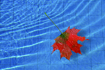Maple leaf (Acer) in a pool
