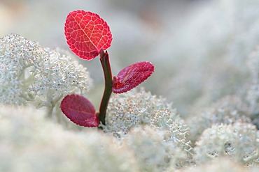 Reindeer Lichen of Caribou Moss and a small shoot with red leaves, Rondane National Park, Norway, Europe