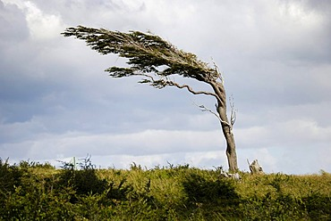 Tree shaped by the permanent and strong winds, Tierra del Fuego, Fireland, near Ushuaia, South Patagonia, Argentina, South America.