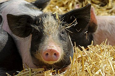 Domestic Pig (Sus scrofa domestica), young animal, zoo, Baden-Wuerttemberg, Germany, Europe