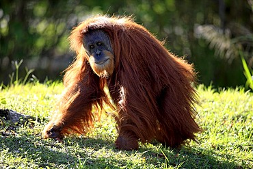 Orangutan (Pongo pygmaeus), adult, in captivity, Florida, USA